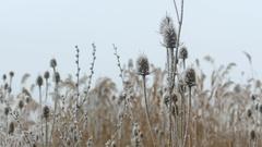 Bur in winter season, Morning Frost Stock Footage