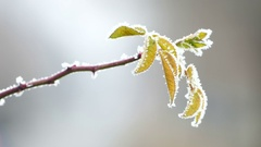 Morning frost and traffic, Frozen plant and cars passing behind Stock Footage