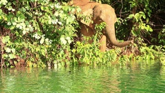 Young wild elephant come down to riverbank Stock Footage