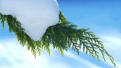 Branch juniper with snow sways in the wind Stock Footage