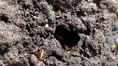 Termites inside a termitary. Macro shooting. Stock Footage