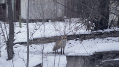 Fox in Ghost Town Pripyat at winter Stock Footage