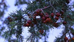 Juniper closeup with red berries. The sprig of juniper in the forest. Stock Footage