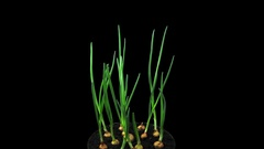 Phototropism effect in growing onions, RGB + ALPHA matte format Stock Footage