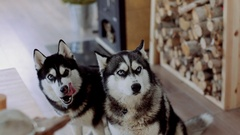 Two Siberian Haskies at home kitchen. Stock Footage