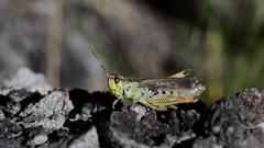 Grasshopper on the cortex Arkistovideo