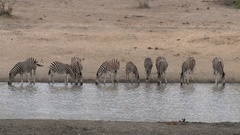 Plains Zebra (Equus quagga burchellii ) herd standing next to each other Stock Footage