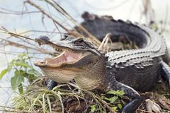 American Alligator Basking Stock Photos