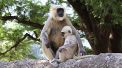 Langur monkey in Rishikesh, India. Stock Footage