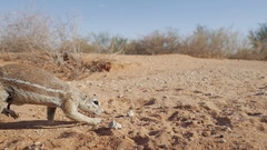 Ground squirrel hunting for food in the Kgalagadi Desert Stock Footage