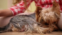 Yorkshire terrier curled up at the feet of a girl on the floor Stock Footage
