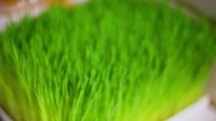 Box full of green grass sprouts, closeup view with zoom Stock Footage