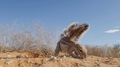 Two ground squirrels fighting over food in the Kgalagadi Desert Stock Footage
