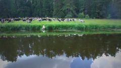 River shore with cow drove browse on grass at summer day. Aerial view Stock Footage