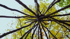 Carcase for wigwam among trees in forest at autumn day Stock Footage