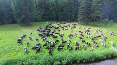 Cow drove browse on grass near Tvertsa river at summer day. Aerial view Stock Footage