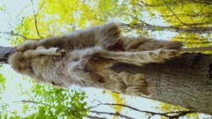 Pelt with tail hangs on tree at autumn day in forest Stock Footage