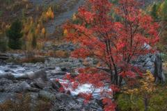 Mountain Stream Long Exposure Day View With Red Rowan Tree, Altai Mountains Stock Photos