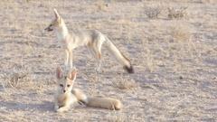 Cape foxes wait for their parents near their desert den Stock Footage