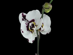 Opening Phalaenopsis spotted Imgur orchid, 4K with ALPHA channel Stock Footage