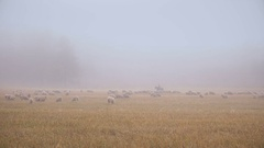 Early Morning Flat Grassland With Flock Of White Sheep Pasturing Under The Mist Stock Footage