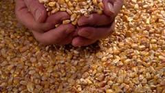 Farmer pours from the hands of corn grain. Stock Footage