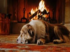 Australian Shepherd lying in a cozy house near the fireplace Stock Footage