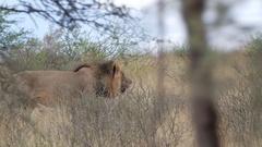 Male lion stalking prey Stock Footage