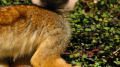 Ultra closeup shot of a black-capped squirrel monkey against green vegetation Stock Footage