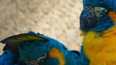 Ultra closeup shot of 3 critically endangered cute blue-throated macaws playing Stock Footage