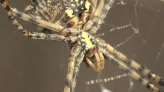 Insect Spider Argiope lobata sitting on web 4k Stock Footage