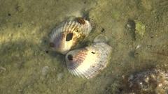Ligia oceanica sea slater common sea slater or sea roach is littoral woodlouse Stock Footage