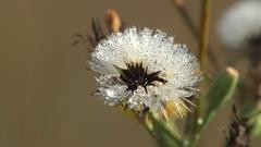 Dandelion flower covered in dew drops macro 4k Stock Footage