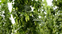 Closeup of ripe hop cones on the field Stock Footage