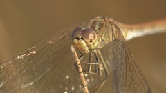 Head Insect Dragonfly Female red-veined darter of genus Sympetrum macro Stock Footage
