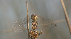 Insect Dragonfly Female red-veined darter of genus Sympetrum macro Stock Footage