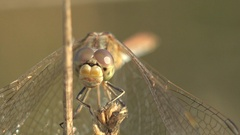 Front view Insect Dragonfly Female red-veined darter of genus Sympetrum macro Stock Footage
