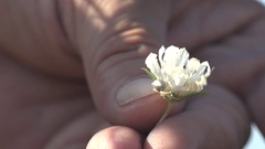 Man's hand touches Small Flower crab spider on white flower 4k Stock Footage