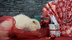 Beautiful white puppy in holiday spirit surrounded by New Year's decoration Stock Footage