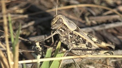 Grasshopper sitting in dry grass garden 4k Stock Footage