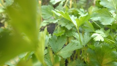 Growing parsley. Close-up. Stock Footage