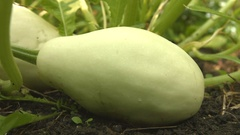 Growing courgettes. 2 Shots. Close-up. Stock Footage