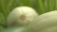 Growing courgettes. Close-up. Stock Footage