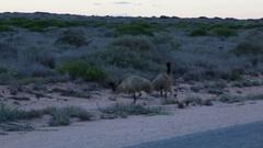 Australian Emu bird walking next to road Stock Footage