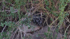 Rock Wallaby hiding behind bushes Stock Footage