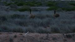 Australian Emu bird running into bush Stock Footage