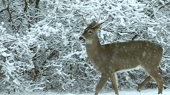 Young deer buck survives in winter blizzard snow Stock Footage