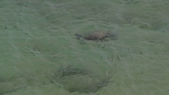 Sea turtle swimming in shallow water close to coast Stock Footage