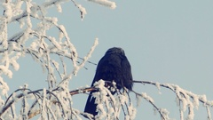 Jackdaw sits on a snow-covered branch Stock Footage
