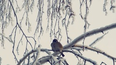 Sparrow sits on a snow-covered branch Stock Footage